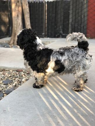 DALLAS, an adoptable Shih Tzu & Poodle Mix in Point Richmond, CA