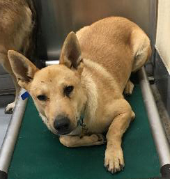 BILLY, an adoptable Shepherd Mix in Point Richmond, CA