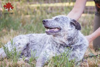 KIKIN, an adoptable Australian Cattle Dog / Blue Heeler in Point Richmond, CA