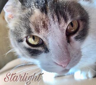 Starlight, an adoptable Domestic Short Hair in Point Richmond, CA