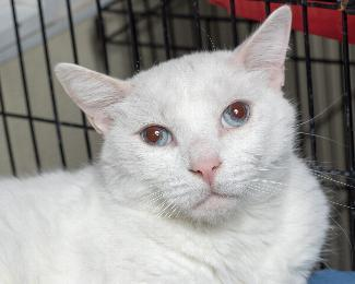 FRANK, an adoptable Turkish Van in Point Richmond, CA