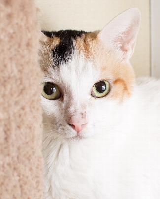TINY, an adoptable Domestic Short Hair Mix in Point Richmond, CA