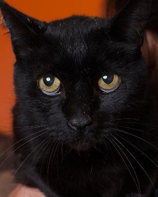 VALIENTES, an adoptable Domestic Short Hair Mix in Point Richmond, CA