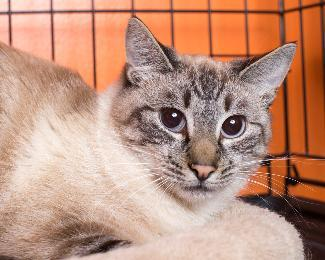 BARNEY, an adoptable Siamese Mix in Point Richmond, CA
