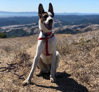 PONO, an adoptable Australian Cattle Dog / Blue Heeler & Shepherd Mix in Point Richmond, CA