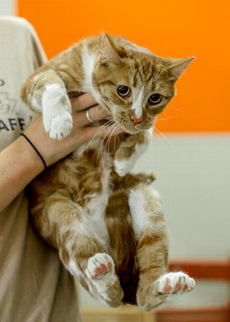 RUSTY, an adoptable Domestic Short Hair Mix in Point Richmond, CA