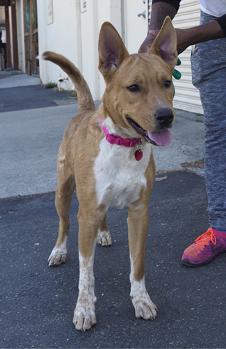 LAYLA, an adoptable Australian Cattle Dog / Blue Heeler & Shepherd Mix in Point Richmond, CA