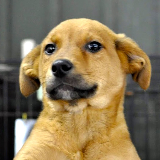Dog For Adoption Yellow Lab Puppies Near West Grove Pa Petfinder