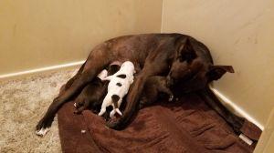Lily Labrador Retriever Dog