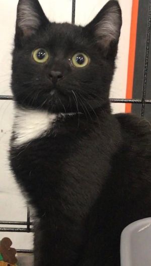 Meet Logan Logan is a handsome American Shorthair He was born about 8122018 He and his brother