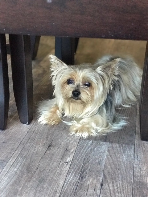 Pets For Adoption At Yorkie Haven Rescue Inc In Baton Rouge La