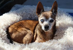 Lyle is a funny senior blind guy that came to us from Santa Maria Animal Shelter because staff fell