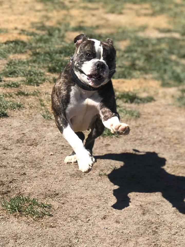 Tessa, an adoptable English Bulldog in Westminster, CO