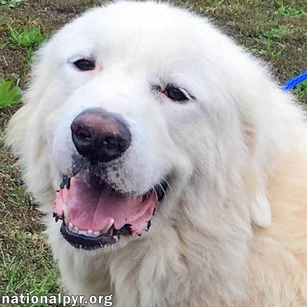 Dog For Adoption Sterling In Nj A Great Pyrenees In Bloomfield