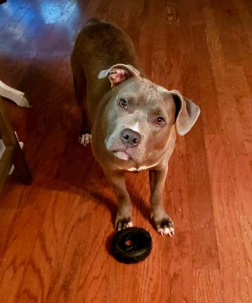 Makayla, an adoptable American Staffordshire Terrier in Dallas, GA
