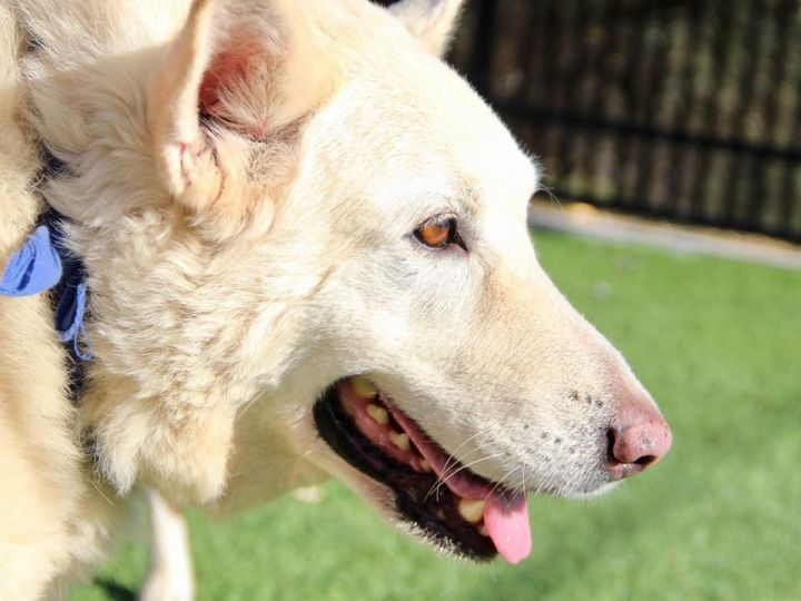 Rowdy, an adopted White German Shepherd in Grass Valley, CA