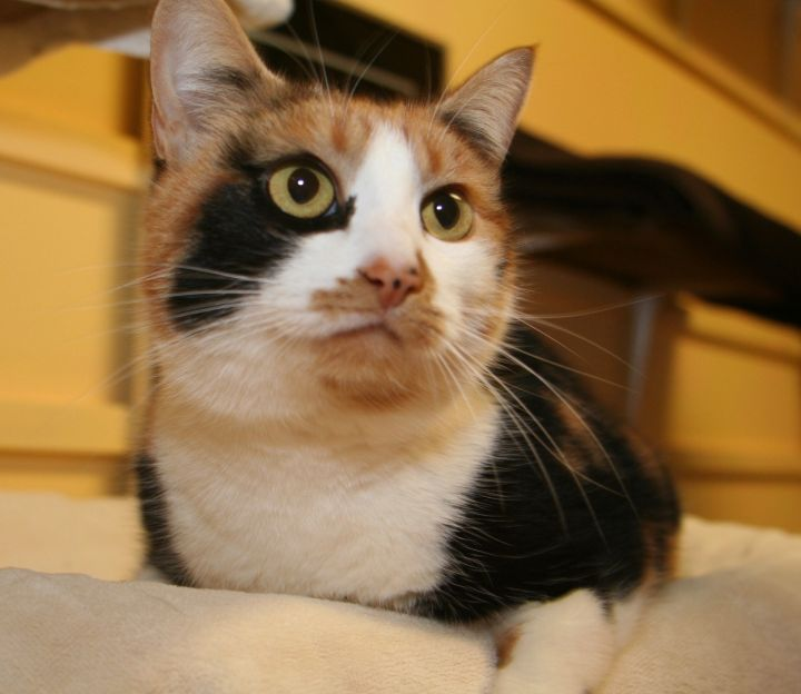 Ella, an adopted Domestic Short Hair in Eastsound, WA