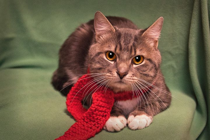 Kittany, an adopted Domestic Short Hair in Harrisburg, PA