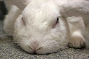 Introducing Huey This big beautiful boy is one of the friendliest buns youll ever meet Huey is pl