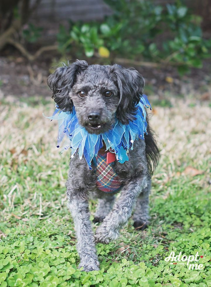 Coal, an adopted Poodle in Kingwood, TX