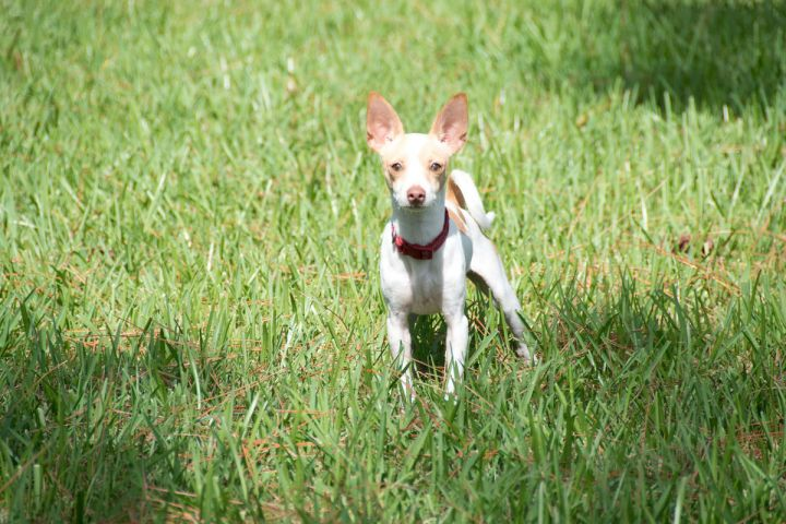 Bobby, an adopted Chihuahua & Dachshund Mix in Boca Raton, FL