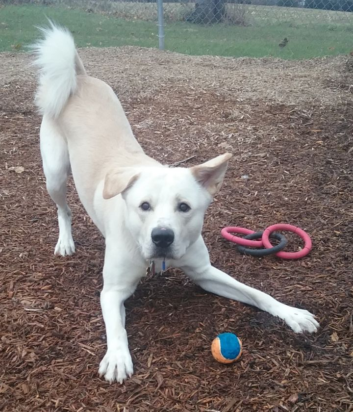 Siku, an adopted Akita & Labrador Retriever Mix in Dillsburg, PA