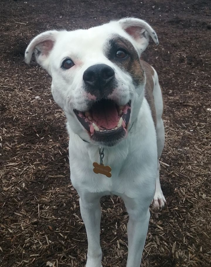 Spike, an adopted American Bulldog & Terrier Mix in Dillsburg, PA