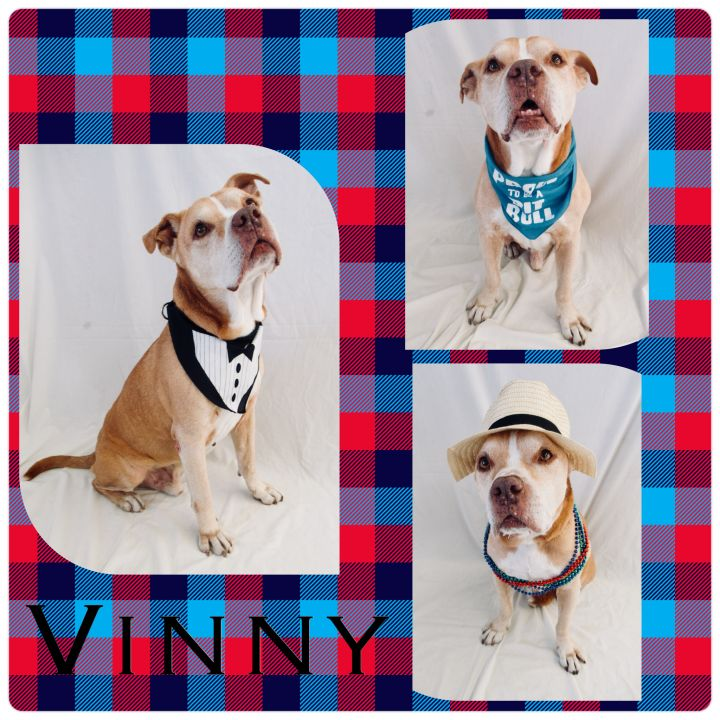 Dog for adoption - Vinny - Pawsitive Direction Program, a Pit Bull
