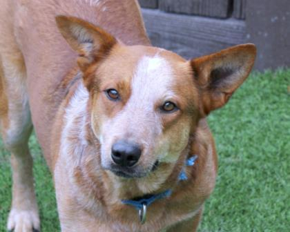 Skeeter, an adoptable Cattle Dog Mix in Loxahatchee, FL