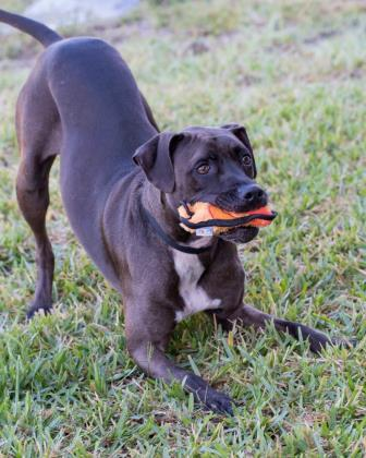 Princess 217, an adoptable Black Mouth Cur Mix in Loxahatchee, FL