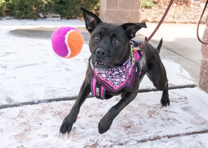 CHEESE, an adopted Rottweiler & Pit Bull Terrier Mix in Hamilton, NJ
