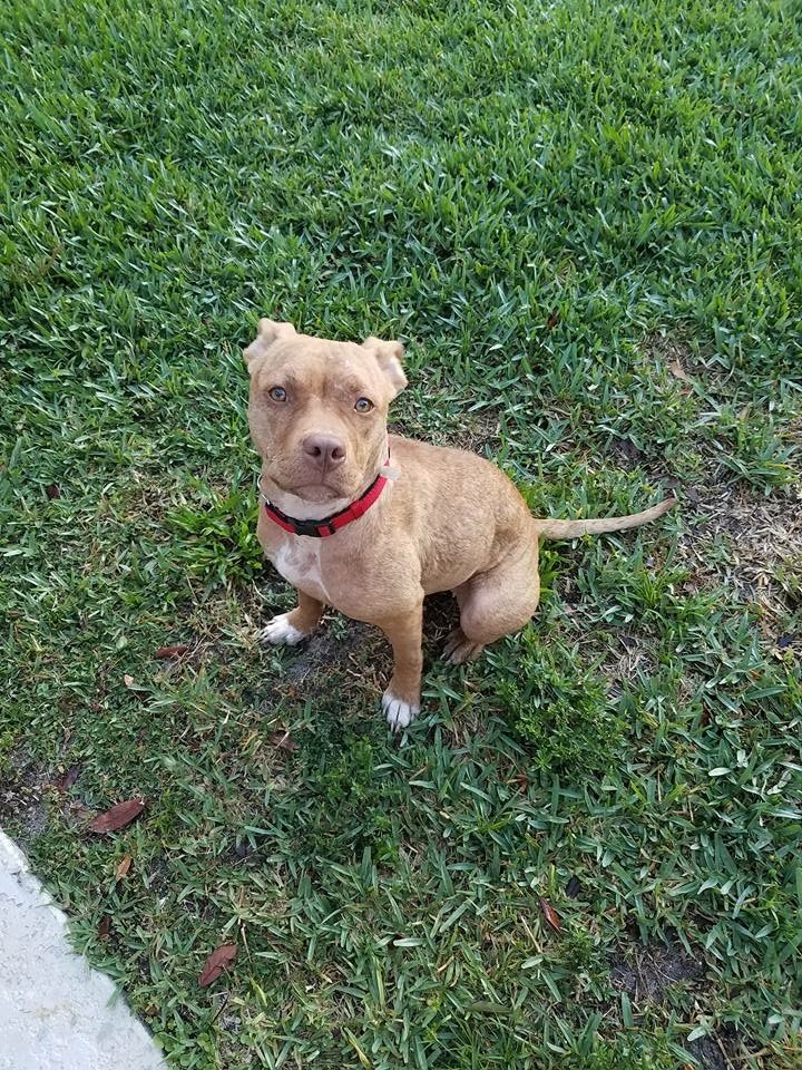 Izzy, an adopted American Bulldog & Pit Bull Terrier Mix in Fort Myers, FL