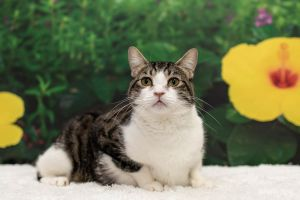 Easygoing and laid back Oki is a casual cat for a relaxed lifestyle Hes a polite fellow who will
