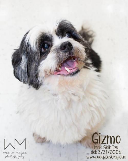 Dog For Adoption Gizmo A Shih Tzu In Newport Ky Petfinder