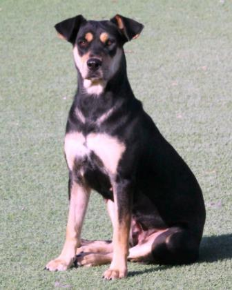 Layla, an adoptable Rottweiler Mix in Loxahatchee, FL