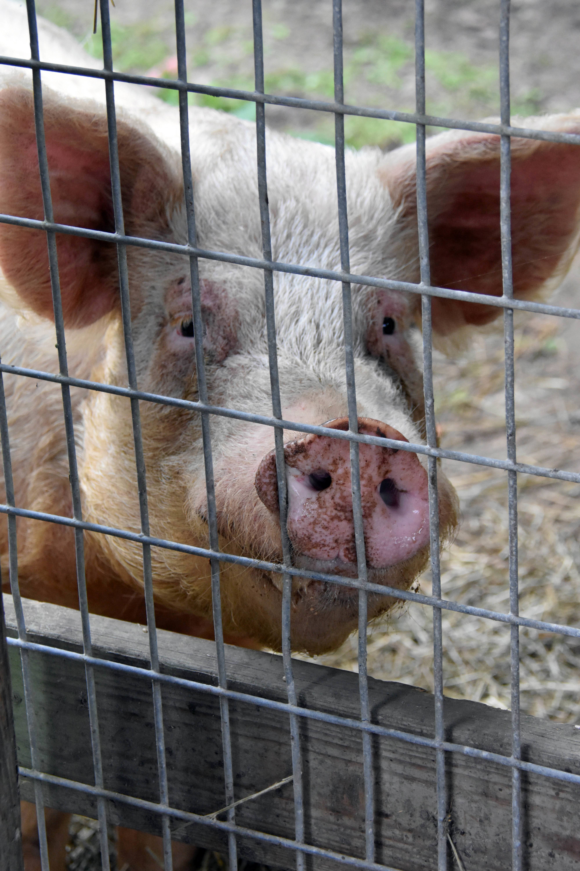 Adopted Barnyard Animals Petfinder
