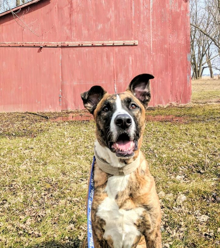 Ted, an adopted Catahoula Leopard Dog & Shepherd Mix in Saint Paul, MN