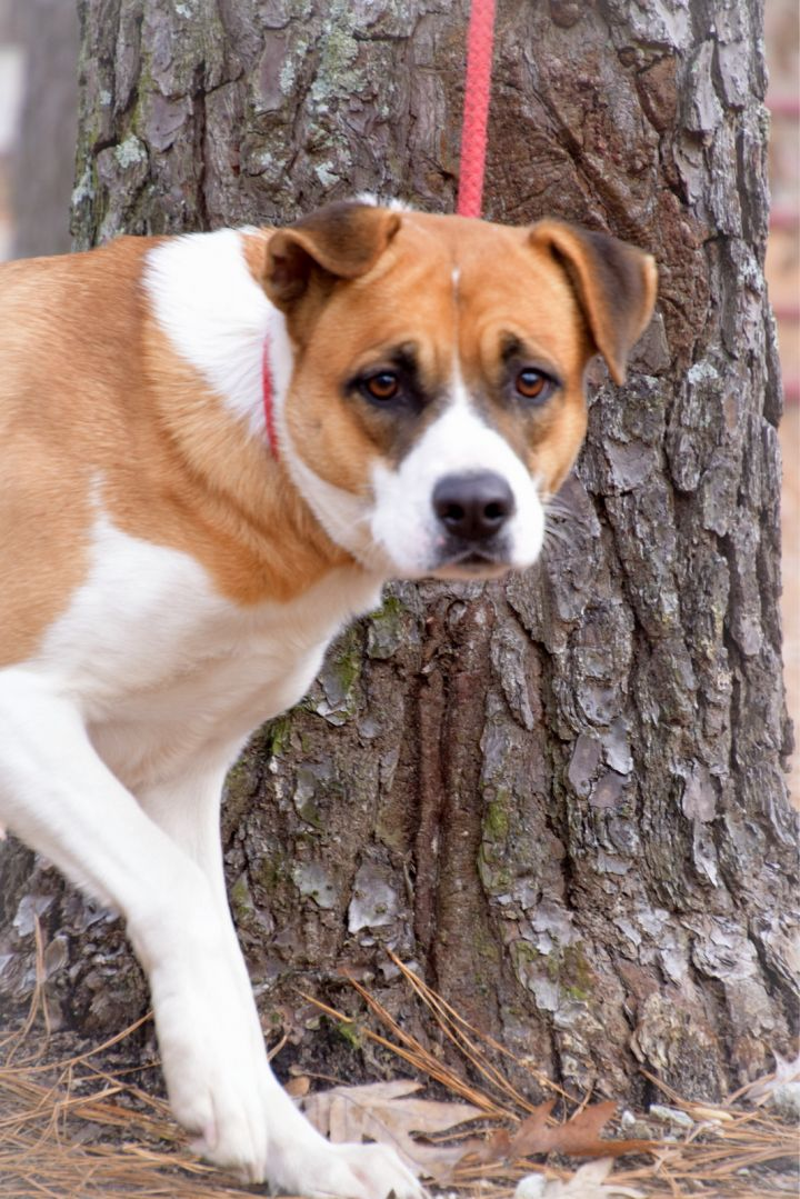 Sweet Pea, an adopted Boxer Mix in Clayton, NC