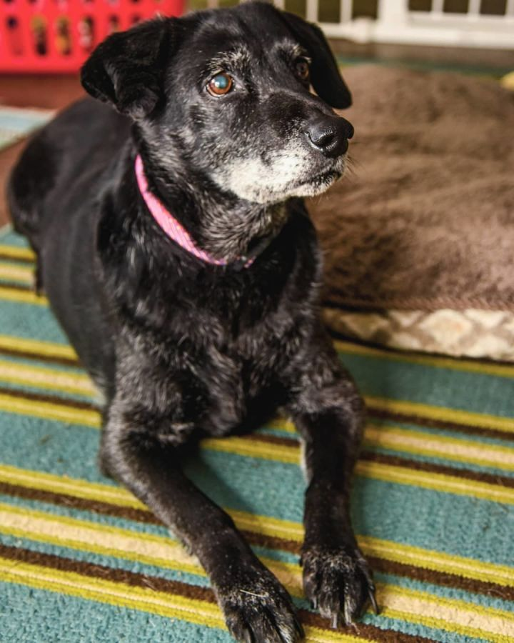 Sally Mae, an adopted Labrador Retriever Mix in Drexel, MO