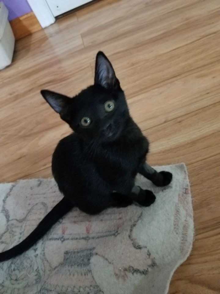 luna, an adoptable Bombay & Domestic Short Hair Mix in Mission Viejo, CA