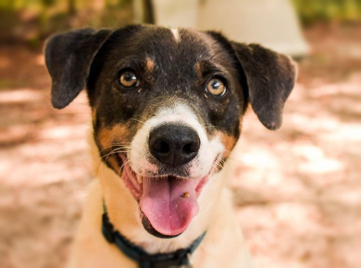 Finn, an adoptable Jack Russell Terrier Mix in Eglin AFB, FL