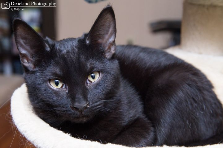 Licorice- courtesy listing, an adopted Domestic Medium Hair & Bombay Mix in Uvalde, TX