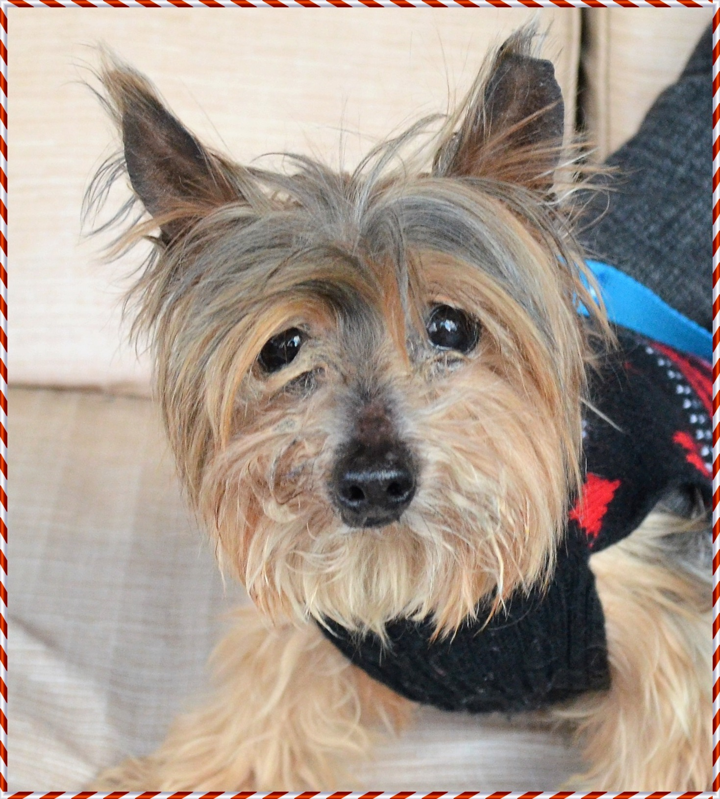 Dog For Adoption Toby The Yorkie Near Scranton Pa Petfinder
