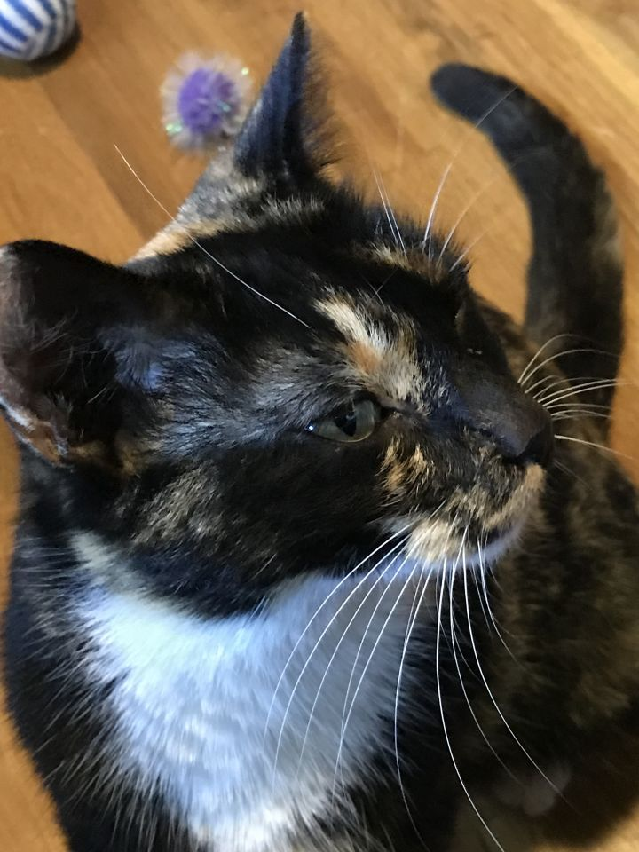 Beauty, an adopted Domestic Short Hair in Shoreline, WA