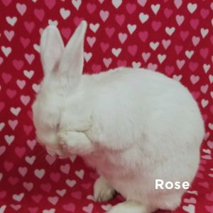 From a large group of neglected rabbits Rose is fearful and needs lots of TLC t