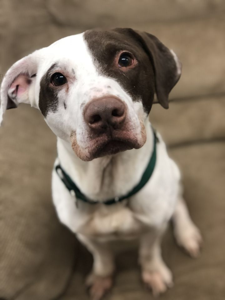 Huck, an adopted Pointer Mix in Melbourne, KY