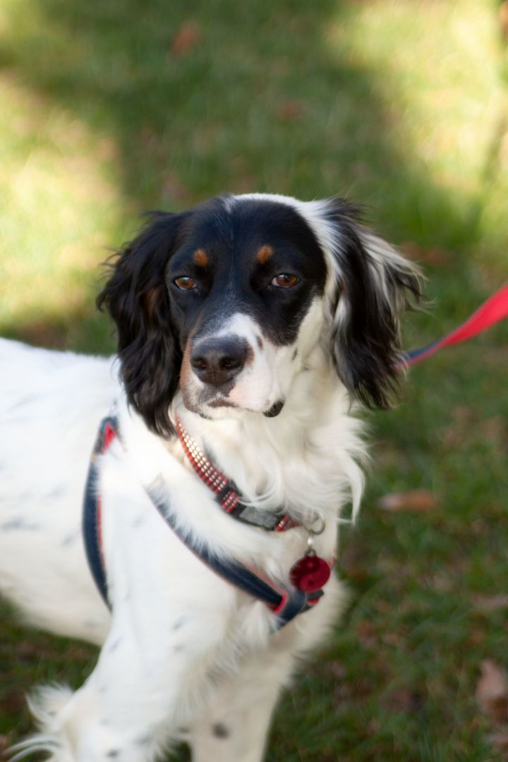 Quincy, an adopted English Setter Mix in Waxhaw, NC