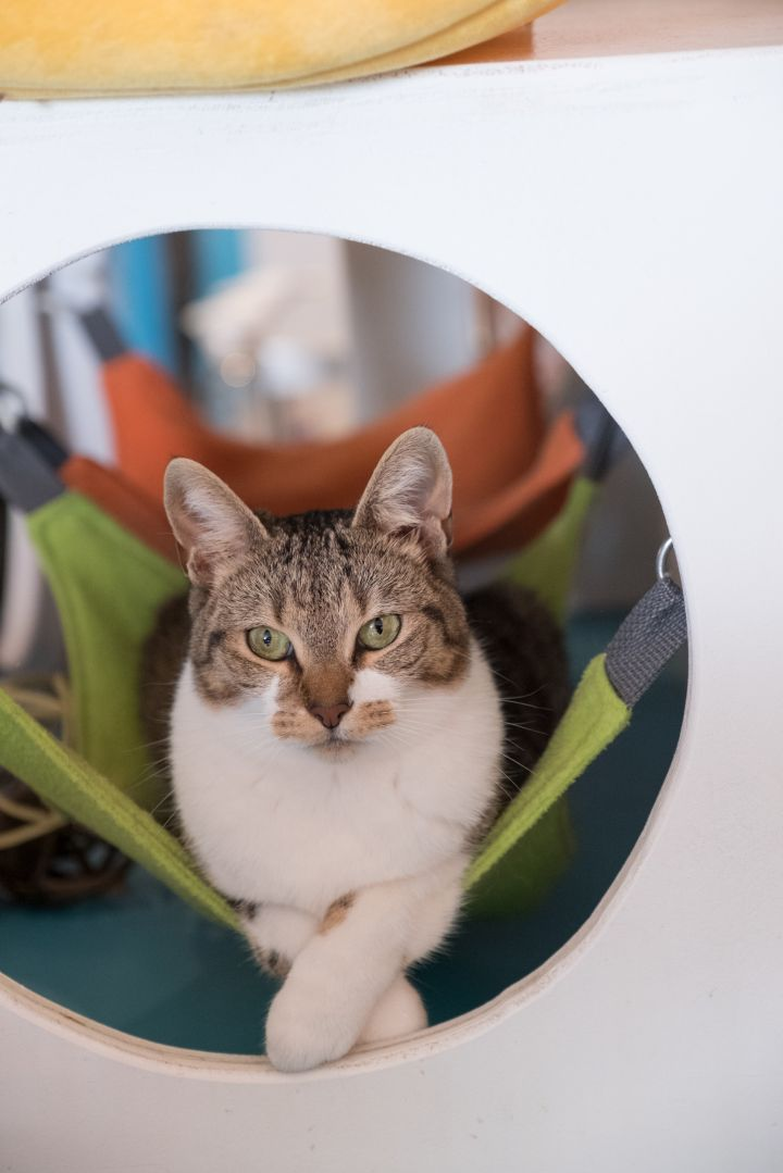 Dame Helen Mirren, an adoptable Domestic Short Hair in Los Angeles, CA