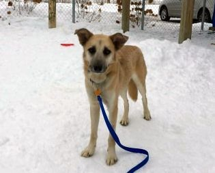 Toby, an adopted Husky & Shepherd Mix in Sparta, WI_image-3