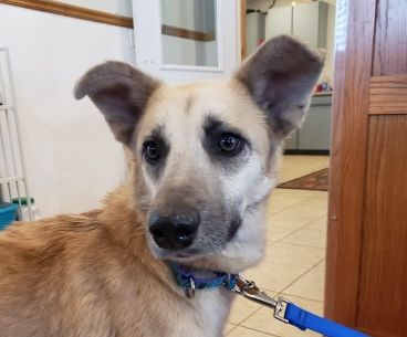Toby, an adopted Husky & Shepherd Mix in Sparta, WI_image-1